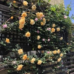 2020年薔薇の開花です♪