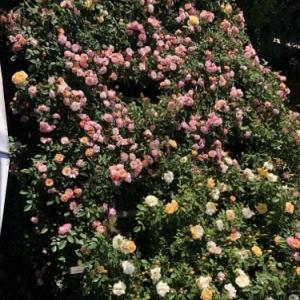 2021年薔薇が満開です♪