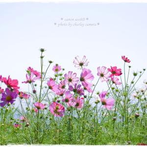 透ける花びら*