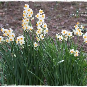 春待ち水仙。