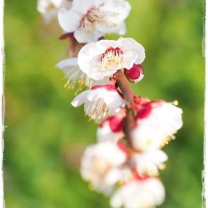 甘い香りに誘われて・・・ *和歌山県 南部梅林公園