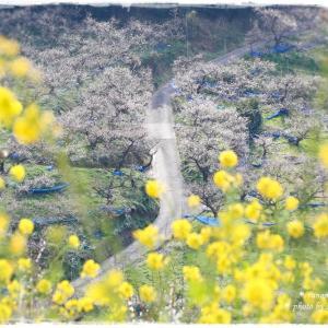 春の訪れ *和歌山県 南部梅林