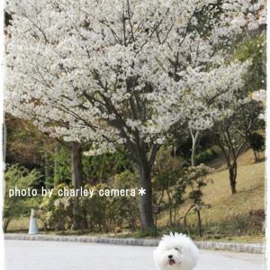 遅くなりすぎ桜・・・(^_^;)