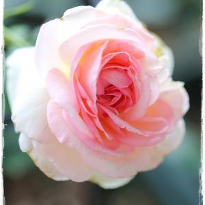薔薇に手を出す・・・