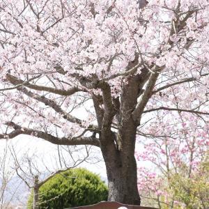 桜が満開のコロの・・・(*^▽^*)