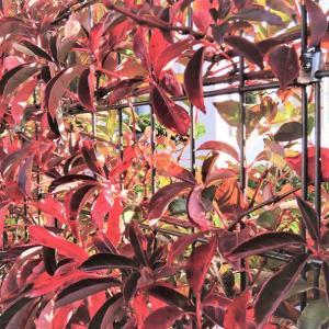 ヘンリー蔦の紅葉