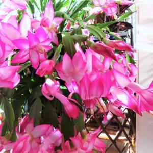 シャコバサボテンが開花しました