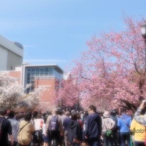 造幣局 桜の通り抜けにて