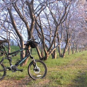 日吉津村の桜堤