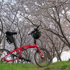 日吉津の桜堤 かなり満開