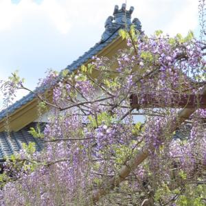住雲寺に藤を見に行った話