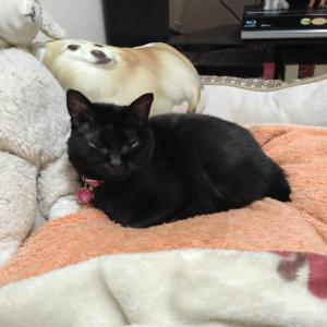 黒猫のくっく。