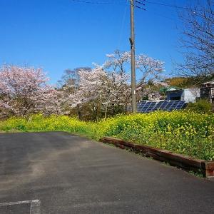沿線の桜 2020-4-2