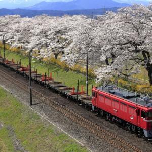満開の一目千本桜とED75-759牽引のチキ工臨
