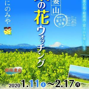 吾妻山公園の菜の花ウォッチング!今週末から。