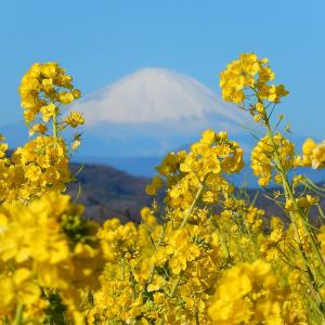 吾妻山公園の菜の花の開花状況!