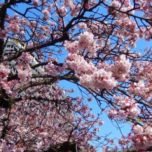 あたみ桜が見頃になったようです!~熱海~
