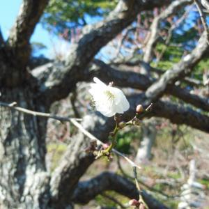 長谷寺の冬至梅が咲き始めました。2020/01/13