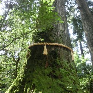 箱根神社の霊妙杉