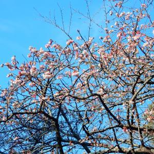 鶴岡八幡宮の寒桜2021/01/25