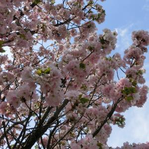 京都に植えられた鎌倉桜~桐ヶ谷~