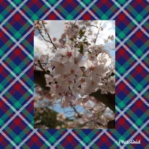 野崎観音の桜 ♪