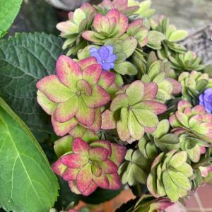 紫陽花きれい