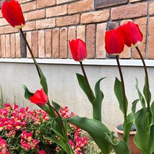 今年も綺麗に咲いているチューリップ