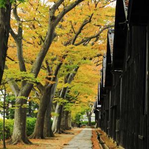 山居倉庫のケヤキが紅葉しています
