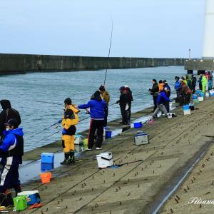 酒田北港の水路に「ハタハタ」大群がきた