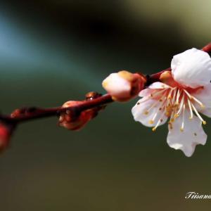 ようやく梅が咲き始めました