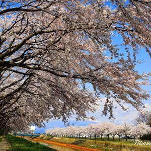 小牧川の桜