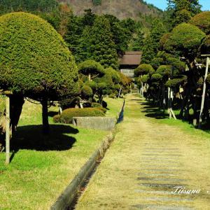 洞瀧山總光寺の『きのこ杉』