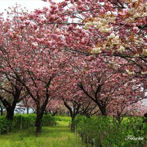 八重桜が咲き、桜の季節が終わります