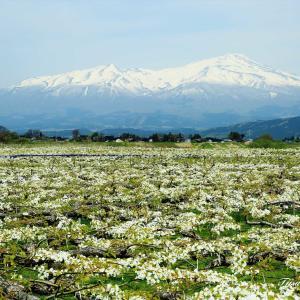 梨畑の白い花が絨毯を敷き詰めたように