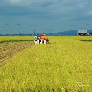 庄内平野で稲刈りが始まりました