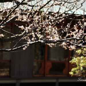 日本海側の東北地方に梅の花が咲きました