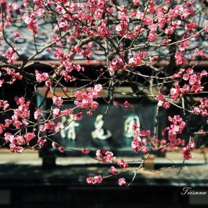 梅と桜が一気に咲いています