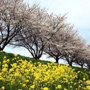 桜は満開になりましたが、青空が出ません