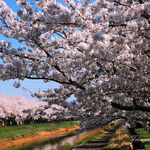 桜のシーズンが終わりました