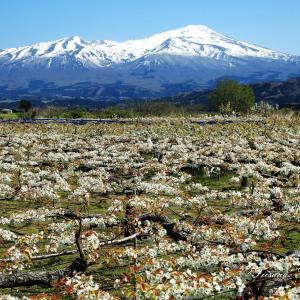 白い花が満開の梨畑