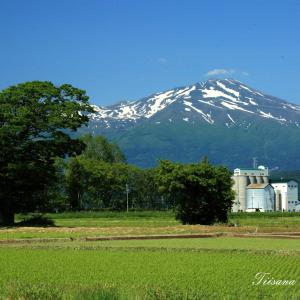 田んぼの稲が順調に育っています