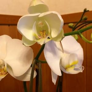 胡蝶蘭が咲いた