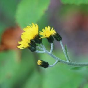 栂池自然園の花 7、8月まとめて その7 ウメバチソウ イワショウブ カンチコウゾリナ