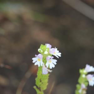 白馬八方尾根の花 9月2日 その3 ミヤマコゴメグサ ハッポウタカネセンブリ キバナのカワラマツバ