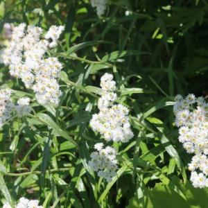 栂池自然園の花 7、8月まとめて その8 ヤマハハコ オオハナウド オヤマリンドウ オニシモツケ クロバナロウゲ