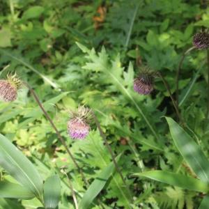 栂池自然園の花 8、9月まとめて その10 ダイニチアザミ タケシマラン ツルニンジン ヤチスゲ シラネニンジン