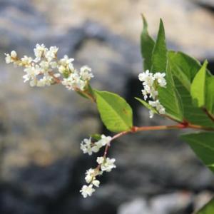 白馬 八方尾根の花 9月6日 その2 4種。