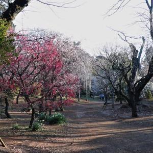 清水公園 観梅散歩