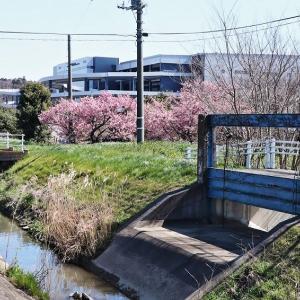 土手の脇道 梅と桜